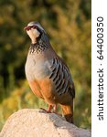 Small photo of Partridge (Alectoris rufa).