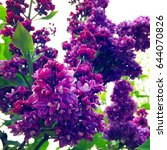 blooming lilac. spring...   Shutterstock . vector #644070826