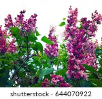 blooming lilac. spring...   Shutterstock . vector #644070922