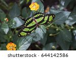 Small photo of Dido longwing (Philaethria dido). A brown and green neotropical butterfly. Costa Rica