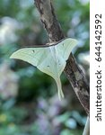 Small photo of An Actias moon moth (Actias luna). One of the biggest moth in North AmericaMexico