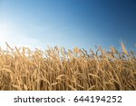 Small photo of the field of the ripened gold wheat against on a blue sky background. harvest, agriculture, agronomics, food, production, eco concept. empty space for the text.