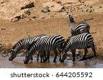 zebra at the bank of mara river ... | Shutterstock . vector #644205592