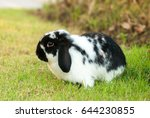 Holland Lop Rabbit In The...