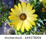 bright yellow blossom of... | Shutterstock . vector #644278006