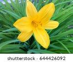 One Yellow Flower Daylily...