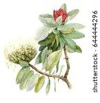 protea flower  sugarbushes .... | Shutterstock . vector #644444296
