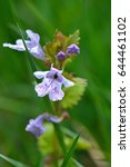 Small photo of Flowers of Alehoof or Glechoma hederacea
