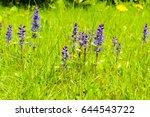 Closeup Of Violet Windflower I...