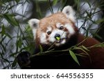 western red panda  ailurus... | Shutterstock . vector #644556355