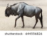 blue wildebeest  connochaetes... | Shutterstock . vector #644556826