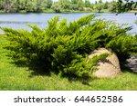 Small photo of Juniperus sabina in ladscape designe
