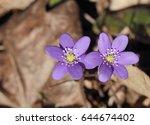 snowdrops  hepatica nobilis ... | Shutterstock . vector #644674402