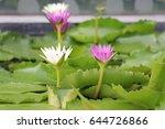 Lotus Focus At White And Purpl...