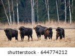 A Herd Of European Bison...