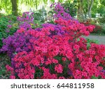 Flowering Azaleas At...