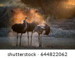 ostrich family. two males ... | Shutterstock . vector #644822062