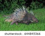 malayan porcupine  himalayan... | Shutterstock . vector #644845366