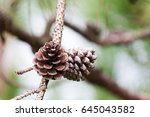 Pine Cones Close Up On Branch