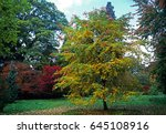 nyssa sylvatica 'tupelo' in... | Shutterstock . vector #645108916