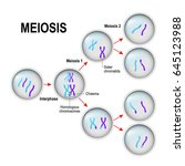 meiosis. cell division and... | Shutterstock .eps vector #645123988