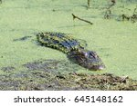 Small photo of An American Alligator (Alligator mississippiensis) lays motionless in the duckweed of a central Florida pond. Alligators are ambush predators, lying in wait for prey to get close to the water's edge.