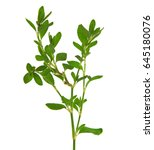 Small photo of Knotgrass, Polygonum aviculare
