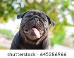 funny face of pug dog with...   Shutterstock . vector #645286966