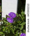 Small photo of Beautiful purple mauve fluffy flower heads of Ageratum species blooming from summer to autumn with a small compact bushy habit are a delightful cottage garden plant.