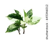 Small photo of Green aglaonema plant on white background