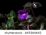 Small photo of Purple flower of achimenes closeup on black background. Achimenes has a multitude of common names such as magic flowers, widow's tears, Cupid's bower, or hot water plant.
