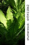 green fern leaves sunny day... | Shutterstock . vector #645411862