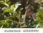 crab eating macaque | Shutterstock . vector #645439492