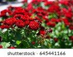 Stock photo rose garden 645441166