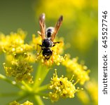 wasp on yellow flower in nature | Shutterstock . vector #645527746
