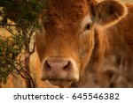 close head image of a red angus ... | Shutterstock . vector #645546382