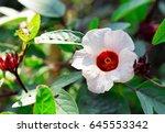 hibiscus sabdariffa or roselle... | Shutterstock . vector #645553342