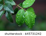 Wet Leaves Of Morning Dew