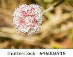 Seaside Buckwheat  Eriogonum...