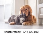 Stock photo british cat and golden retriever 646123102