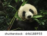 Female Panda Is Eating Bamboo...