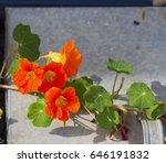 Pretty  Orange  Flowers Of...