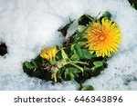 Yellow Sow Thistle In Snow