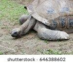 Long Neck Giant Black Tortoise...