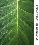 Small photo of Water droplets on big leaf.(Elephant Ears; Alocasia macrorhiza)