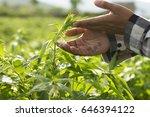 farmer checking healthy of crop ...   Shutterstock . vector #646394122
