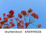big branch of gulmohar flowers...   Shutterstock . vector #646444636