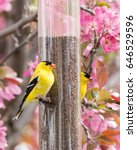 Small photo of American Goldfinch on a niger feeder in an blooming ornamental apple tree