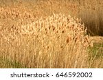 Wild Pampas Grass