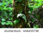 Tree Trunk Bound By Ivy Vine